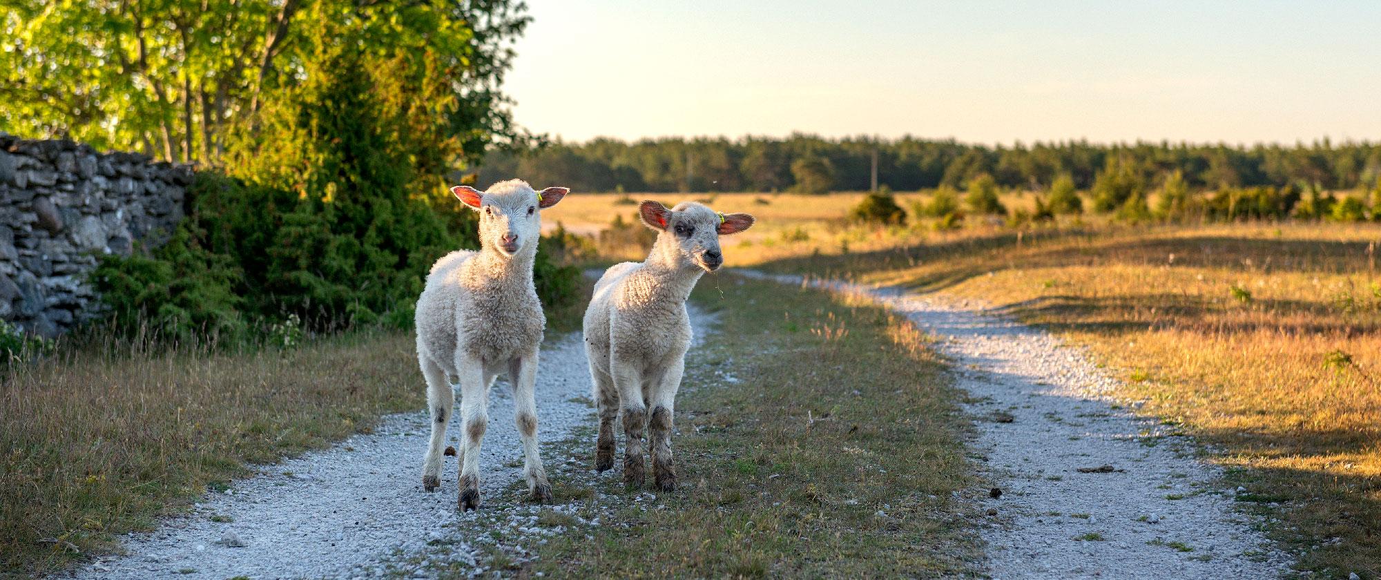 Lamm på Gotland